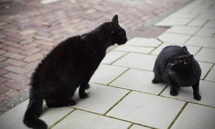 black cat article